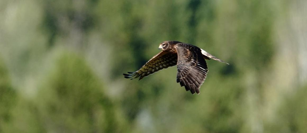 Harrier Hawk at Sunriver